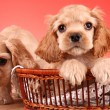 Puppies cocker spaniel on a red background — Stock Photo