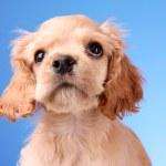 Puppy cocker spaniel on a white background — Stock Photo