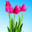 Red tulips on blue background — Stock Photo