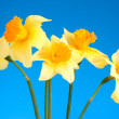 Yellow daffodils on blue background — Stock Photo #6661819