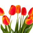 Red tulips on white background — Stock Photo #6661841