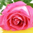 Big and beautiful pink rose on a white background — Stock Photo