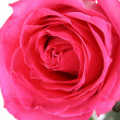 Big and beautiful pink rose. Extreme closeup — Stock Photo