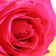 Stock Photo: Beautiful pink rose on white background