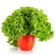 Green lettuce salad isolated on white background - Stockfoto