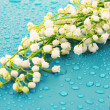 Lily-of-the-valley on blue — Stock Photo #6662438