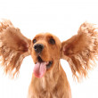 Cocker spaniel with flying ears isolated on white. Very expressi — Stock Photo #6662509