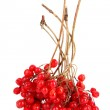 Red berries of viburnum isolate on white — Stock Photo