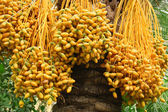 Riped yellow dates hanging on the tree — Stock Photo