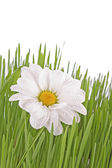 White camomile in the grass — Stock Photo