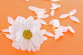 White camomile on orange background — Stock Photo