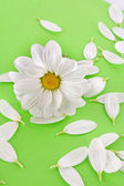White camomile on green background — Stock Photo