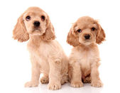 Puppy cocker spaniel on a white background — Stock Photo