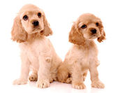 Spaniel puppies isolated on white — Stock Photo