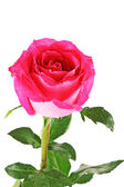 Beautiful pink rose on white background — Stock Photo