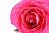Velké a krásné růžové růže. closeup — Stock fotografie