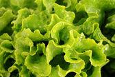 Insalata di lattuga verde isolato come sfondo — Foto Stock