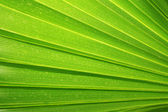Green palm tree leaf as a background — Foto Stock