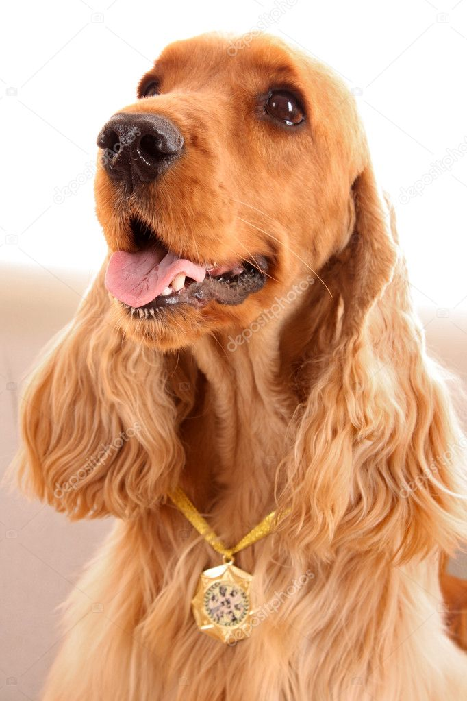 Young brown cocker spaniel on white background — Stock Photo #6660449