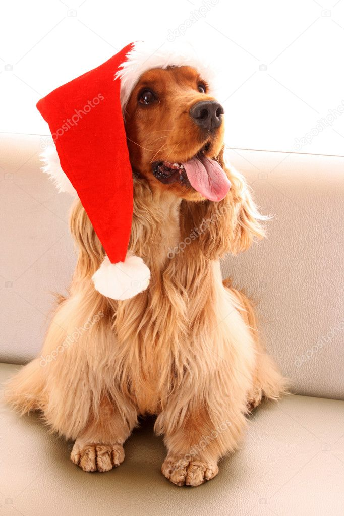 Young brown cocker spaniel in christmas hat on white background — Stock Photo #6660479