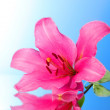 Pink lily flower on blue background with reflection — Stock Photo