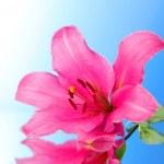 flor de lirio rosa sobre fondo azul con la reflexión — Foto de Stock   #6676696