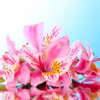 Pink lily flower on blue background with reflection — Stock fotografie #6676703
