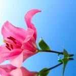 roze lily bloem op blauwe achtergrond met reflectie — Stockfoto #6676704