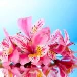 用反射蓝色背景上的粉色百合花卉 — 图库照片
