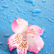 Pink flower on blue background — Stock Photo