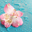 Pink flower on blue background — Stock Photo #6677508