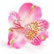 Pink lily on white background — Stock Photo
