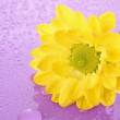 Yellow camomile on violet background — Stock Photo