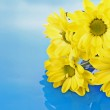 Yellow camomile on blue background — Stock Photo #6678190