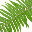 Green fern leaf isolated on white — Stock Photo