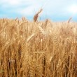 Stock Photo: Wheat field over blue sky background in summer