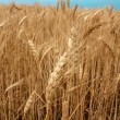 Wheat fieldready for harvest growing - Stock Photo