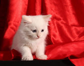 Young white kitten on red background — Stock Photo
