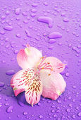 Pink flower on violet background — Stock Photo