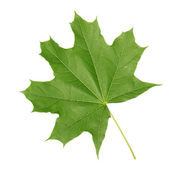 Green maple leaf — Stock Photo