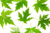 Maple leaves isolated on white — Foto Stock