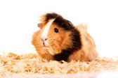 Funny brown cavy in sawdust on white background — Stock Photo