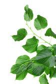 Linden leaves — Stockfoto