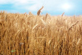 Wheat field over the blue sky background in summer — Stock Photo