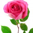 Stock Photo: Beautiful pink rose on a white background