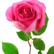 Beautiful pink rose on a white background — Stock Photo #6686051