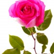 Beautiful pink rose on a white background — Stock Photo #6686053