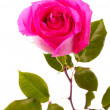 Beautiful pink rose on a white background — Stock Photo