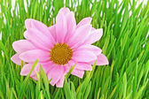 Růžový heřmánek v trávě — Stock fotografie
