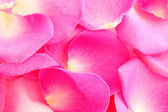 Rose petals on white — Stock Photo
